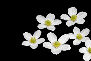 Anemone sylvestris by Heremod