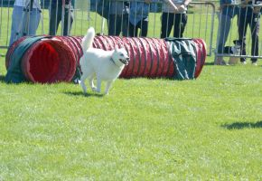2014 Dog Festival, Agility Contest 12 by Miss-Tbones