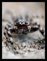 Jumping Spider by Valr