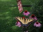 Swallowtail 2014 by Moonstone27