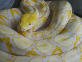 Albino Python by MonsterMan2000