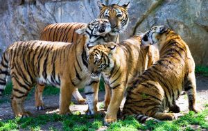Tiger Group Photo by Waya37