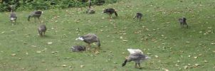 Unidentified Geese 1 by Dan-S-T