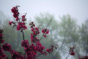 Blooming Crabapple in the Rain by hoogathy