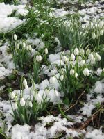 Snowdrops by angelofmusicuk