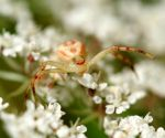 Crab Spider on Queen Anne's Lace by WanderingMogwai