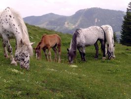 Horses (Knappstrupper) on the mountain pastures by JenThams