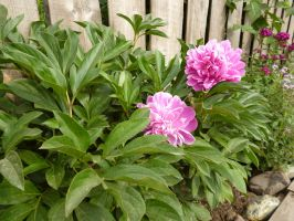 Peony by TimeCollector