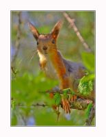 Young squirrel by Maresolo