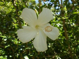 White Hibiscus by Twister4evaSTOCK