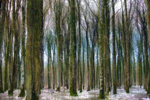 Elm forest under snow1 by hubert61