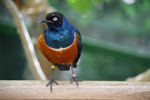 Superb Starling 6 by destinysWalrus