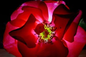 Backlit Rose III by FeralWhippet