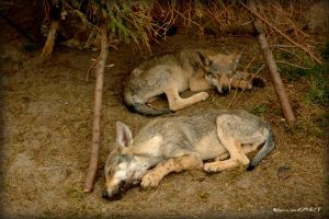 sleeping beasts young wolfs by kovalart