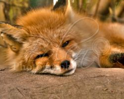 Tired Fox by VeCani