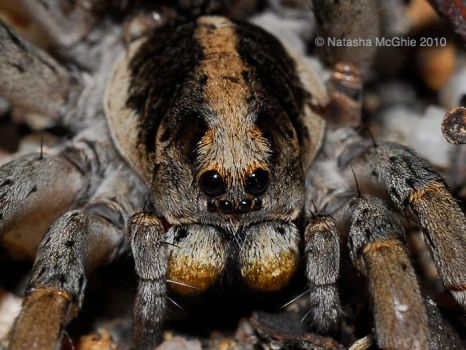 Typical Lycosidae Smiling by TypicalTash