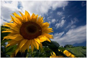 Sunflower by Crossie
