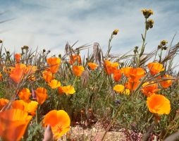 California poppies by sanddragon