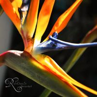 Birds of Paradise by Ra1nDanc3r