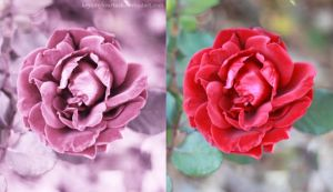 A Single Rose Before and After Versions by key2myheartnsb