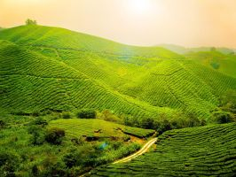 Tea Plantation - FOR SALE by kuma-x