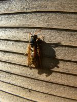 Sunbathing Wasp by Son-of-Italy