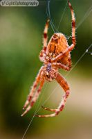 Orange Marbled Orb Weaver by V-Light