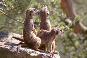 Meerkats I by expression-stock