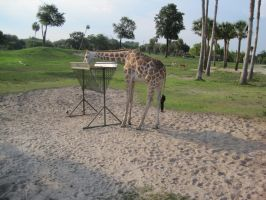 Stock: Giraffe 25 by equizotical