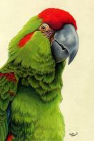 Red-Fronted Macaw by xfkirsten