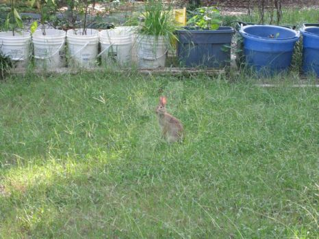 Rabbit in Yard 03 by Guardian-of-Worlds
