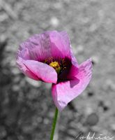 Pink Papaver by YourLittleBunny