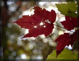 Maple leaves 40D0029527 by Cristian-M