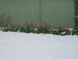 Tulips In The Snow by CaptainCheezmo