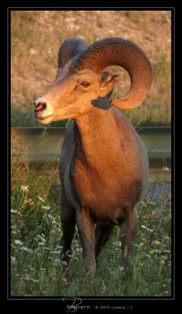 Bighorn by Crooty