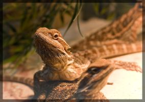 bearded dragon by mephisto23