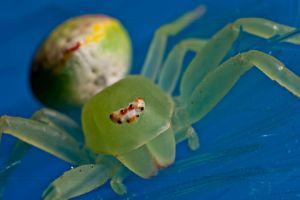 Thomisidae by dinawanaojt