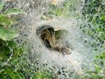 Agelena labyrinthica by Flanker-27