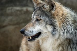 Mexican Wolf by DeniseSoden