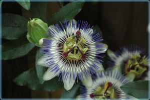 Passion Flower by turlough