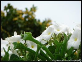 White flowers on a rainy day by Genteel