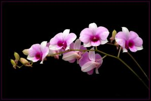 STRING OF ORCHIDS by THOM-B-FOTO