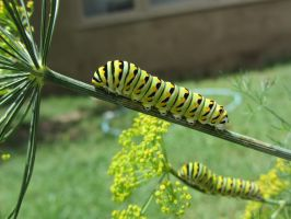 Caterpillars by Rosefish
