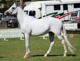 STOCK - TotR Arabians 2013-193 by fillyrox