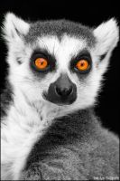 Lemur. by Evey-Eyes