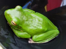 White-Lipped Green Tree Frog by AfroDitee