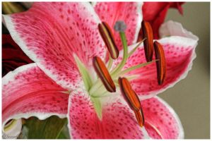Pink Lilly by WiccanWT