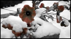 Flowers in the snow... by rockgem