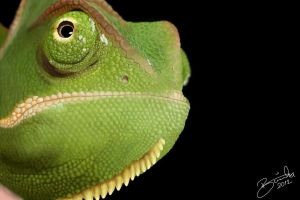 Veiled Chameleon by LucaDeBoa