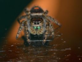 Jumping Spider by PitchforkPerfect